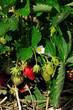 canvas print picture - Erdbeerpflanze