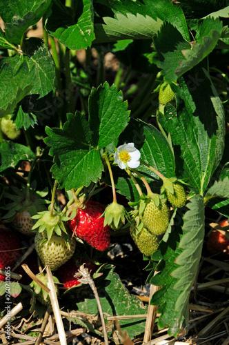 canvas print picture Erdbeerpflanze