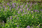 春の花、あやめ、紫