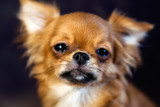 Chihuahua puppy dog is photographed at close range