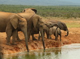 Family herd of African elephants drinking at the waterhole.