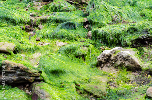 Leinwandbild Motiv texture of seaweed on stones