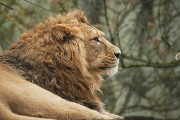 portrait of lion watching behind him