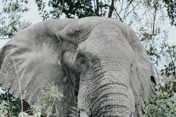 Portrait Elephant in Queens Elizaberth