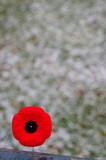 Red poppy pin on spotty snowy background