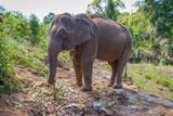Adult female asian elephant