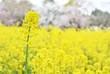 canvas print picture - 菜の花畑と桜