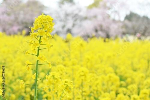 canvas print picture 菜の花畑と桜