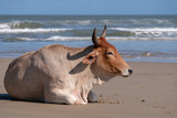 Nguni cow at Second Beach, at Port St Johns on the wild coast in Transkei, South Africa.