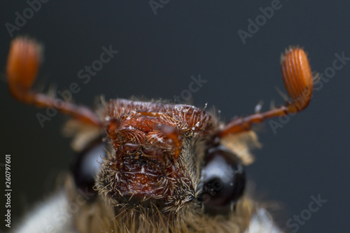 Summer chafer or European june beetle, Amphimallon solstitiale, head closeup - 260797601