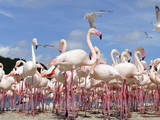 Flock of Greater Flamingo on the shore of Camargue, France