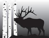 Elk coming through the aspesns