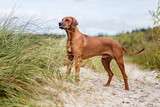 Rhodesian ridgeback dog on the sea shore