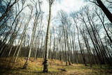 Bright beech forest in the spring, the first flowers.