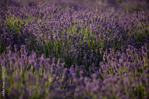 Lavendel - 260811292