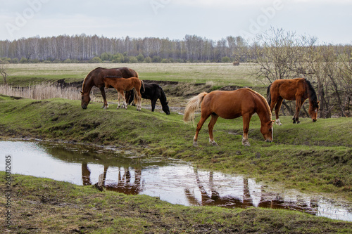 Horses and foal grazing in the pasture.