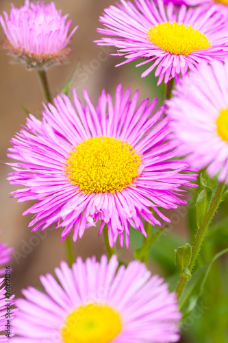 Mexican fleabane or Erigeron karvinskianus in flower. Pink with yellow heart in the daisy family (Asteraceae) - 260821286