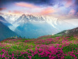 Alpine rhododendrons on the mountain fields of Chamonix - 260822683