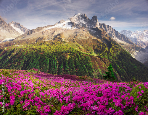 Alpine rhododendrons on the mountain fields of Chamonix © panaramka