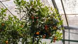 mandarynki na drzewie