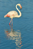 Flamingo (Phoenicopterus ruber) walking in water with big reflection seen from profile, in the Camargue is a natural region located south of Arles, France, between the Mediterranean Sea and the two ar