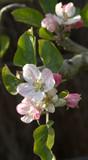 floraison printanière de pommier