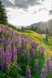 Lupinen Blüte in den Bergen