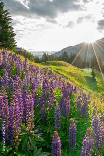 Lupinen Blüte in den Bergen - 260839016