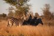 Steppenzebra - Burchell's Zebra