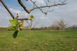 canvas print picture - Streuobstwiese - Blüten an Zweig