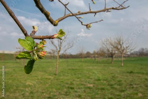 canvas print picture Streuobstwiese - Blüten an Zweig