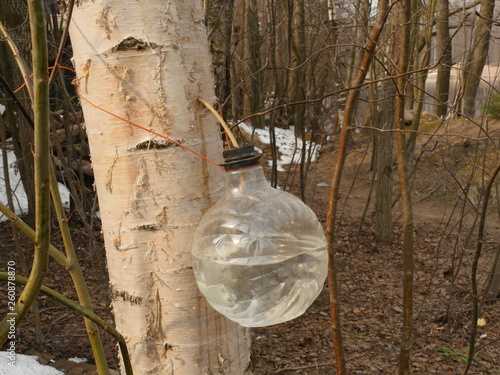 harvesting birch sap into a plastic bottle - 260878870