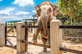 Elephant in a zoo in Cambodia