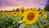 Blue sky landscape of Summer sunset sunflower field