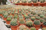 Selected focused on a group of small and colourful cactus planted in small plastic pots. The cactus will be used as indoor decoration. Sale to the customer as income for farmers.