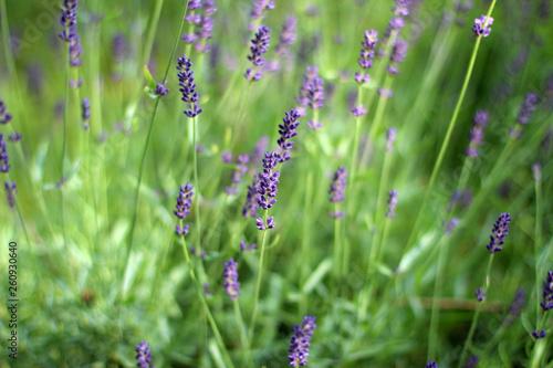 Lavender's blooming - 260930640
