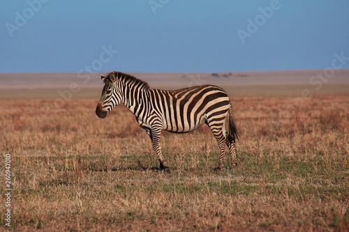 Safari, Tanzania, Kenya