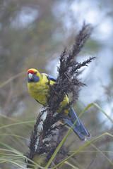 Green Rosella Bird Tasmania Australia
