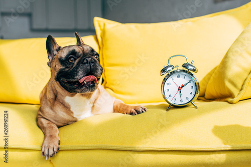 cute french bulldog lying near retro alarm clock on yellow sofa