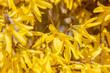 canvas print picture - Nahaufnahme von Blumen (Forsythie) im Frühling
