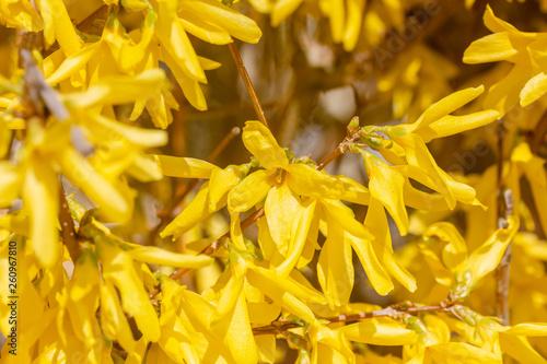 canvas print picture Nahaufnahme von Blumen (Forsythie) im Frühling