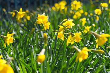 Narcissus in the garden. Yellow Daffodils.
