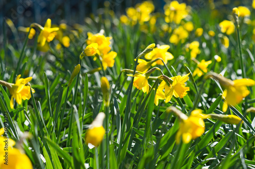 Narcissus in the garden. Yellow Daffodils. © darkfreya