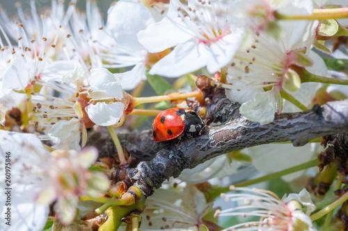 Leinwanddruck Bild Marienkäfer sitzt auf weißen Kirschblüten
