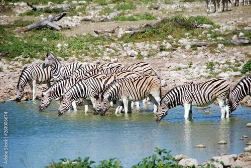 herd of zebras in africa - 261006674