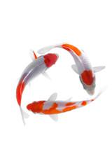 Koi fish kohaku White background