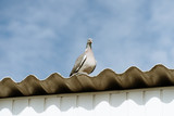 wild dove, wood pigeon sitting on the roof and watching