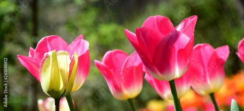 Ein Meer aus Tulpen im Sonnenschein
