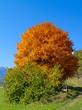 canvas print picture - Baum mit Herbstlaub vor blauem Himmel