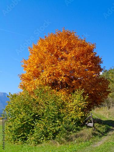 canvas print picture Baum mit Herbstlaub vor blauem Himmel